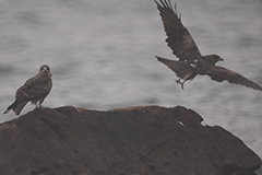 20150912-2 Eagles 1 Fly-240x160x180.jpg